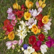 Freesia Royal Crown mix 50 seeds